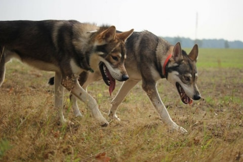 game of thrones wolf hunderasse