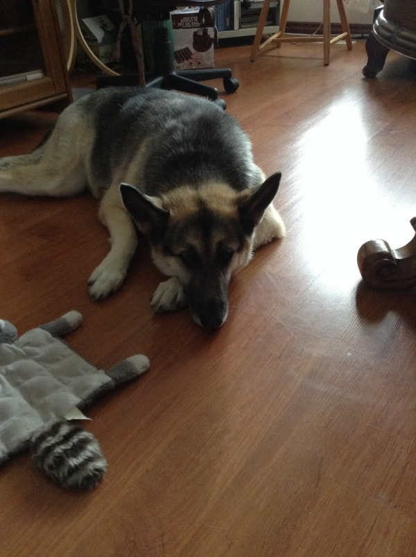 German Sheperd Khloie Dog Of Pet Parent Michael Pawshake