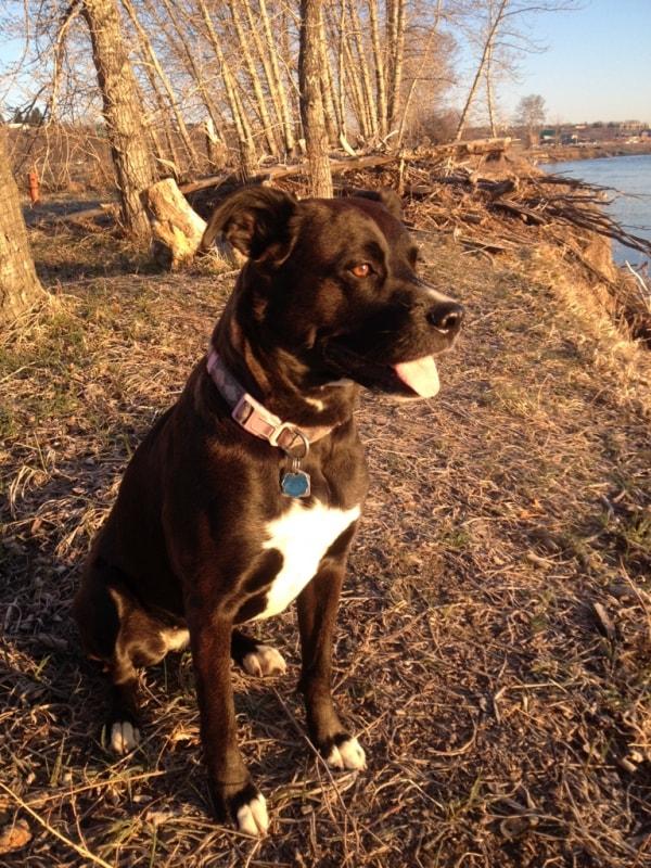 Boxer Labrador Layla Dog Of Pet Parent Jeffrey Pawshake