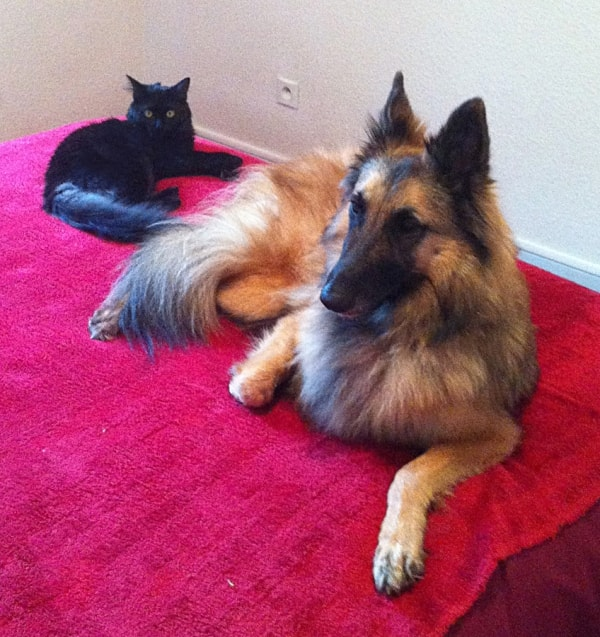 belgian shepherd tervueren fanya chien de patrick pawshake. Black Bedroom Furniture Sets. Home Design Ideas