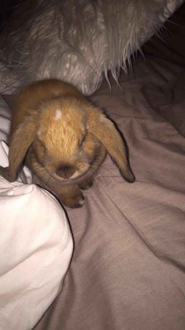 mini lop loki rabbit of pet parent bella pawshake