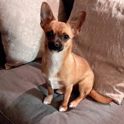Mix Chihuahua Yorkie Gremly Dog Ann Pawshake