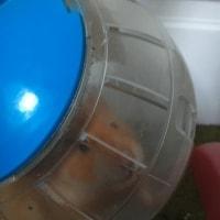 OJ- Hamster not Guinea Pig.