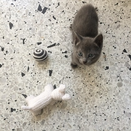 Male Cat Getting Desexed