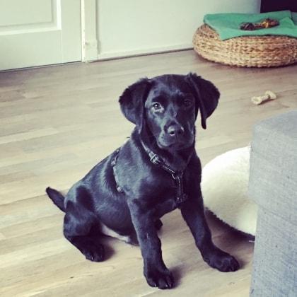 Labrador Jack Dog Of Pet Parent M 243 Nica Pawshake